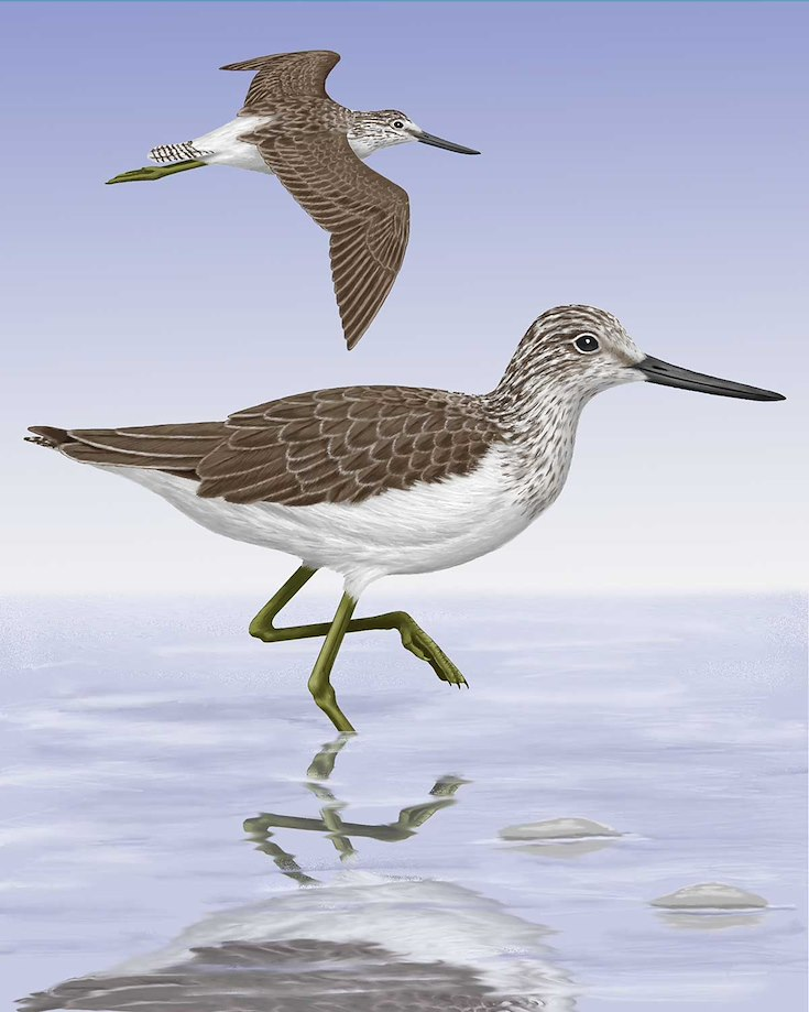 Common Greenshank_CEPortrait_1200
