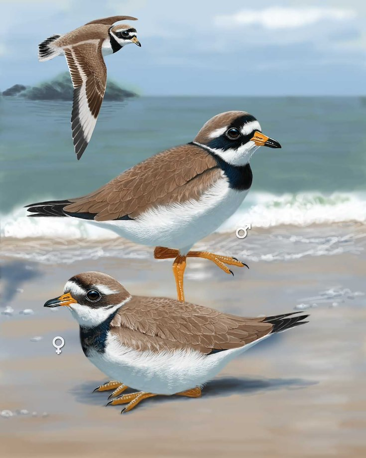 Common Ringed Plover_CEPortrait_1200