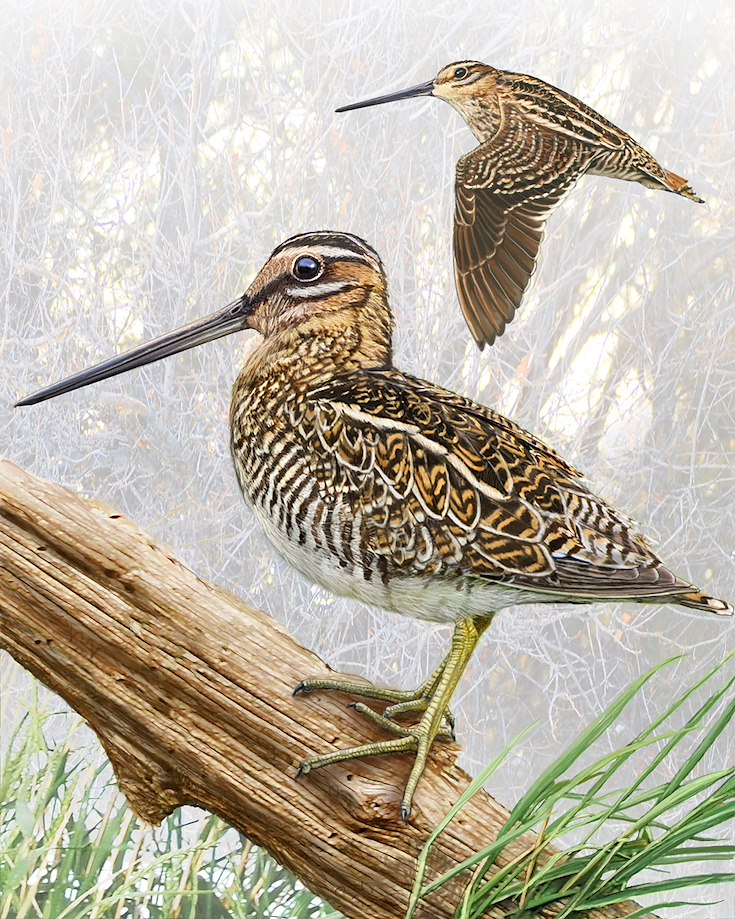 Common Snipe_CEPortrait_1200