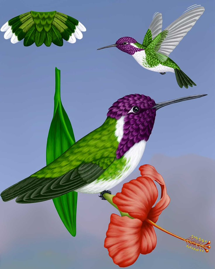 Costa's Hummingbird_CEPortrait_1200