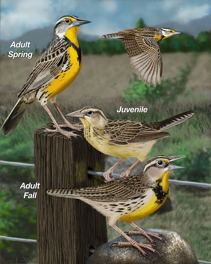 Eastern Meadowlark_CEPortrait_1200