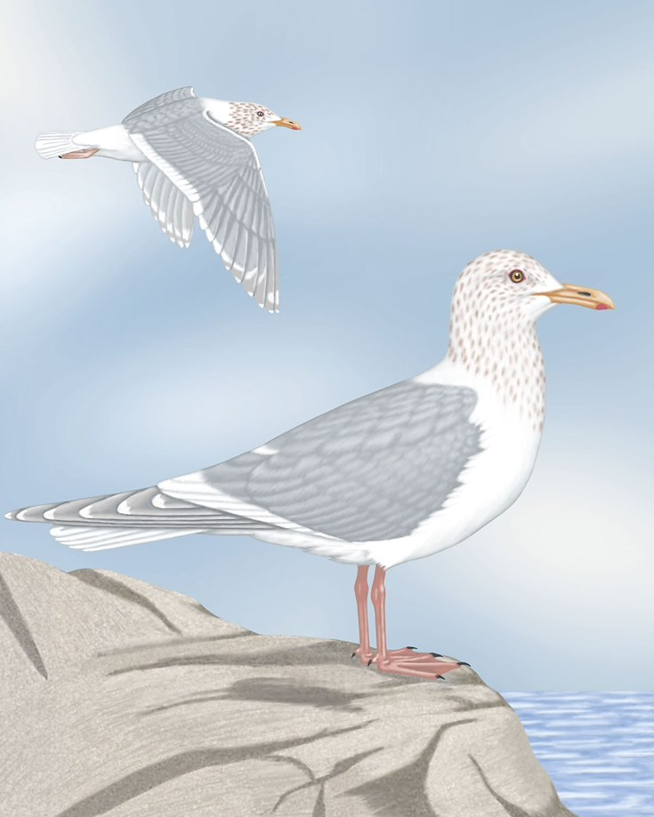 Glaucous-winged Gull_CEPortrait_1200