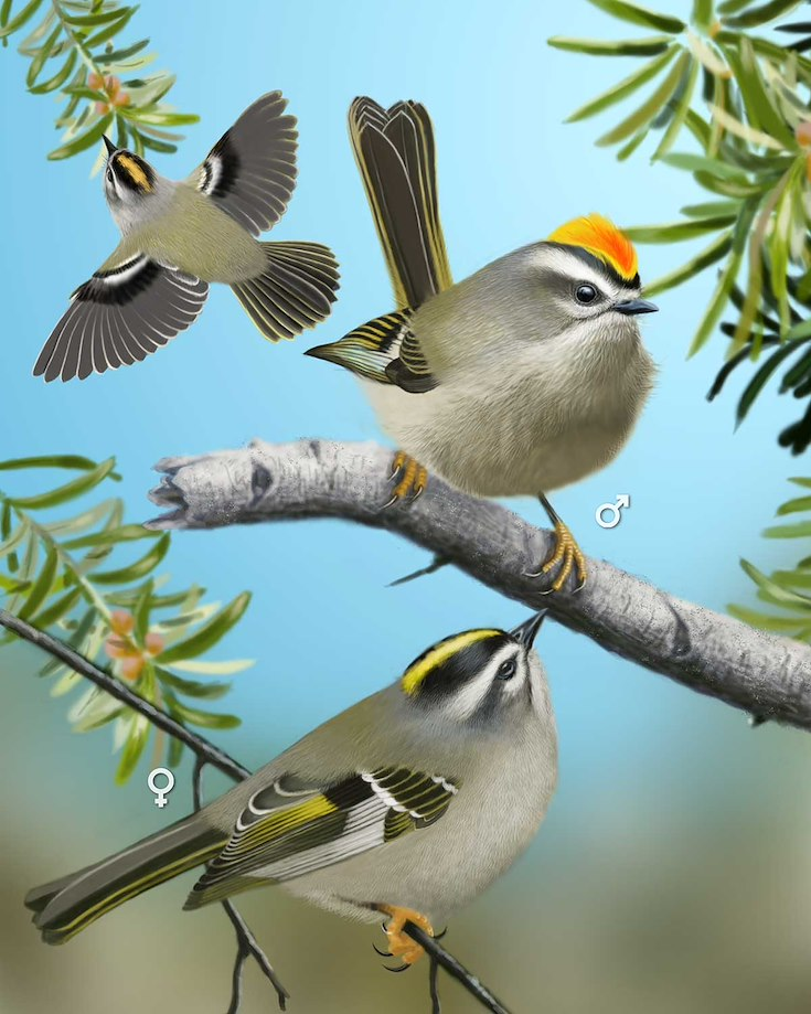 Golden-crowned Kinglet_CEPortrait_1200