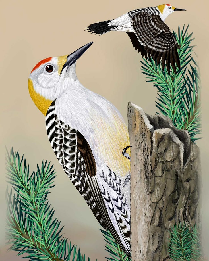 Golden-fronted Woodpecker_CEPortrait_1200