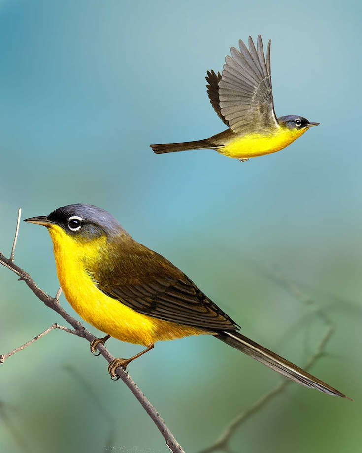 Gray-crowned Yellowthroat_CEPortrait_1200