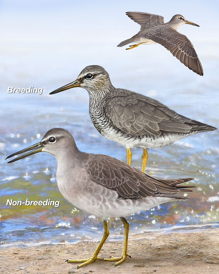 Gray-tailed Tattler_CEPortrait_1200