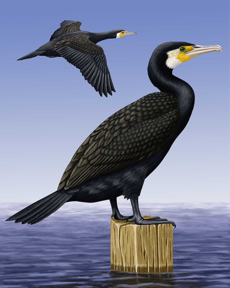 Great Cormorant_CEPortrait_1200