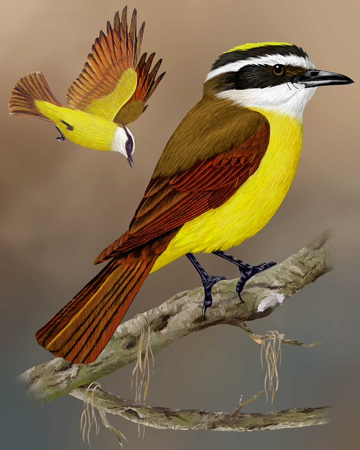 Great Kiskadee_CEPortrait_1200