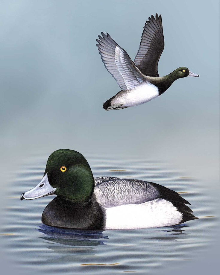 Greater Scaup_CEPortrait_1200
