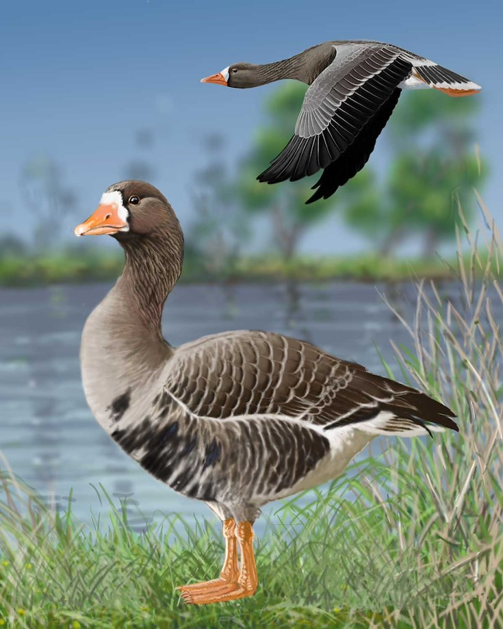 Greater White-fronted Goose_CEPortrait_1200