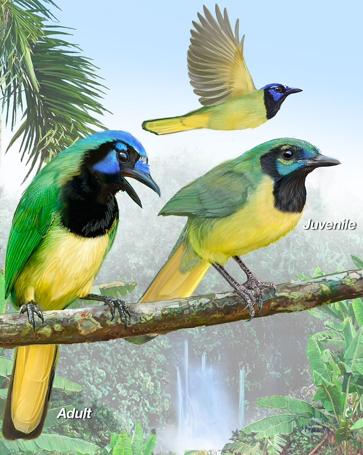 Green Jay_CEPortrait_1200.jpg