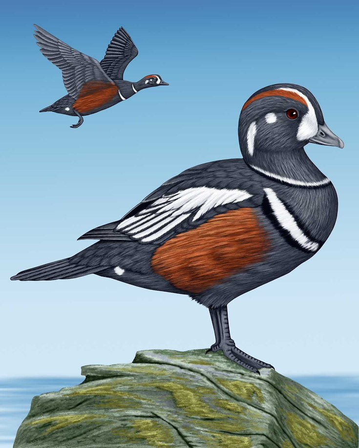 Harlequin Duck_CEPortrait_1200