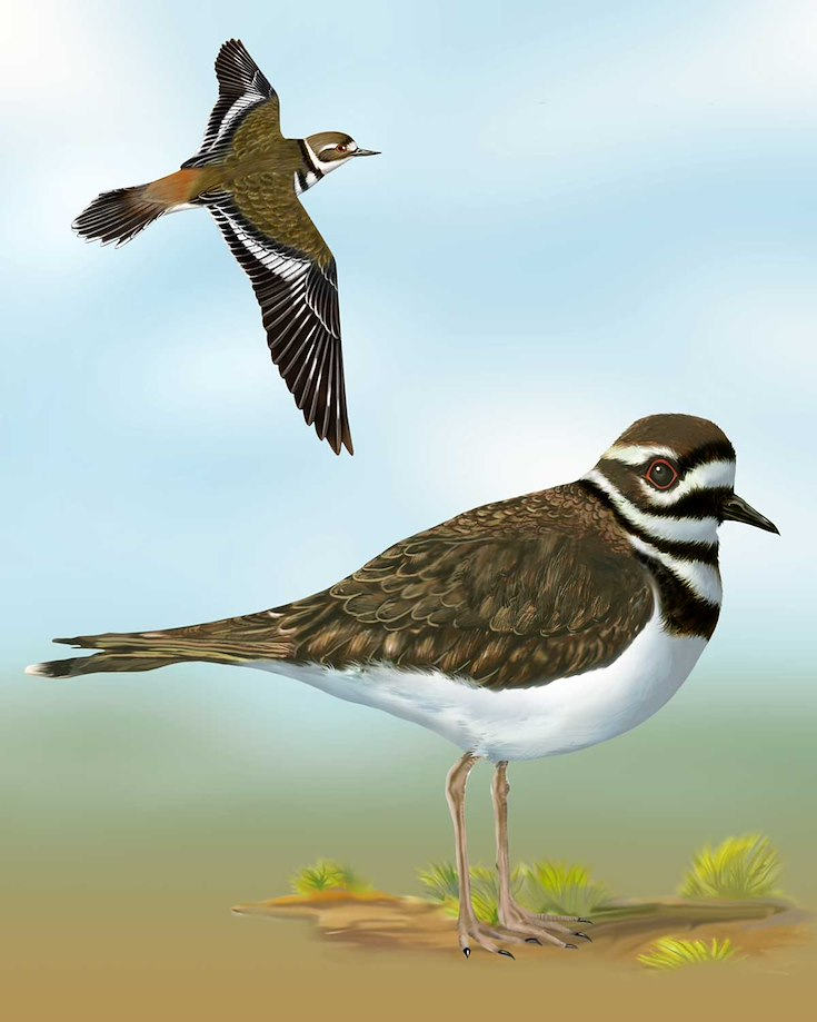 Killdeer_CEPortrait_1200