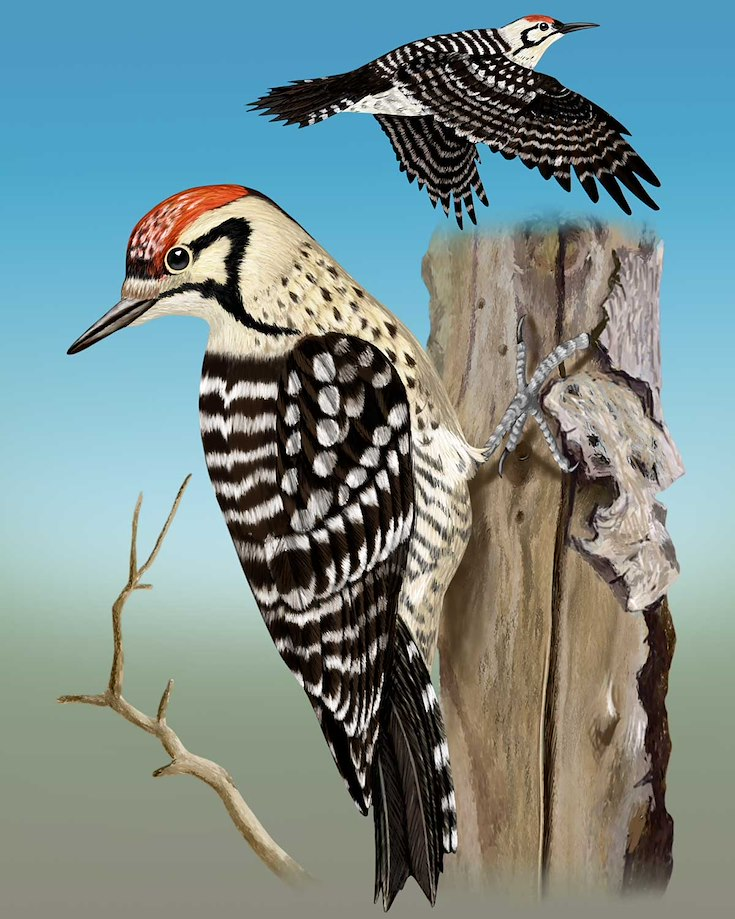 Ladder-backed Woodpecker_CEPortrait_1200
