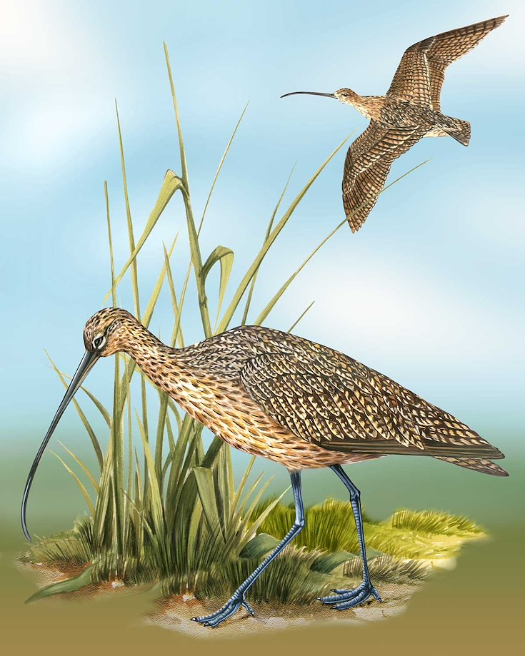 Long-billed Curlew_CEPortrait_1200