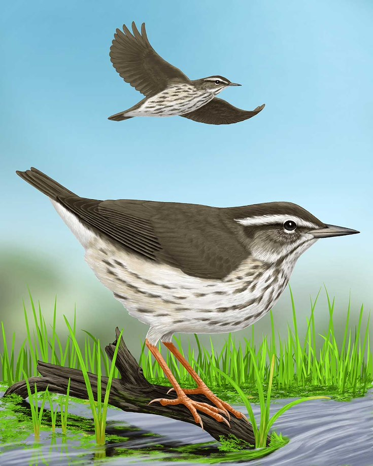 Louisiana Waterthrush_CEPortrait_1200