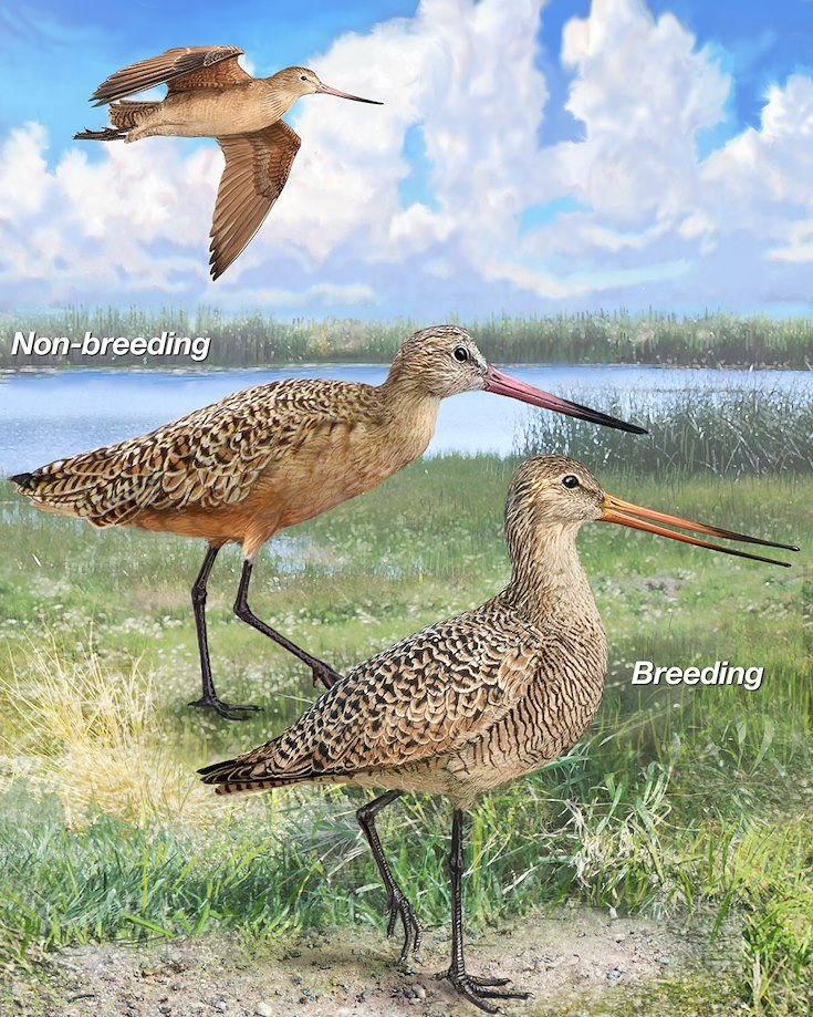 Marbled Godwit_CEPortrait_1200