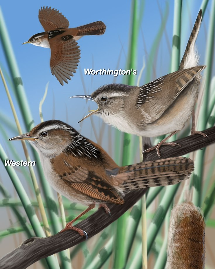 Marsh Wren_CEPortrait_1200