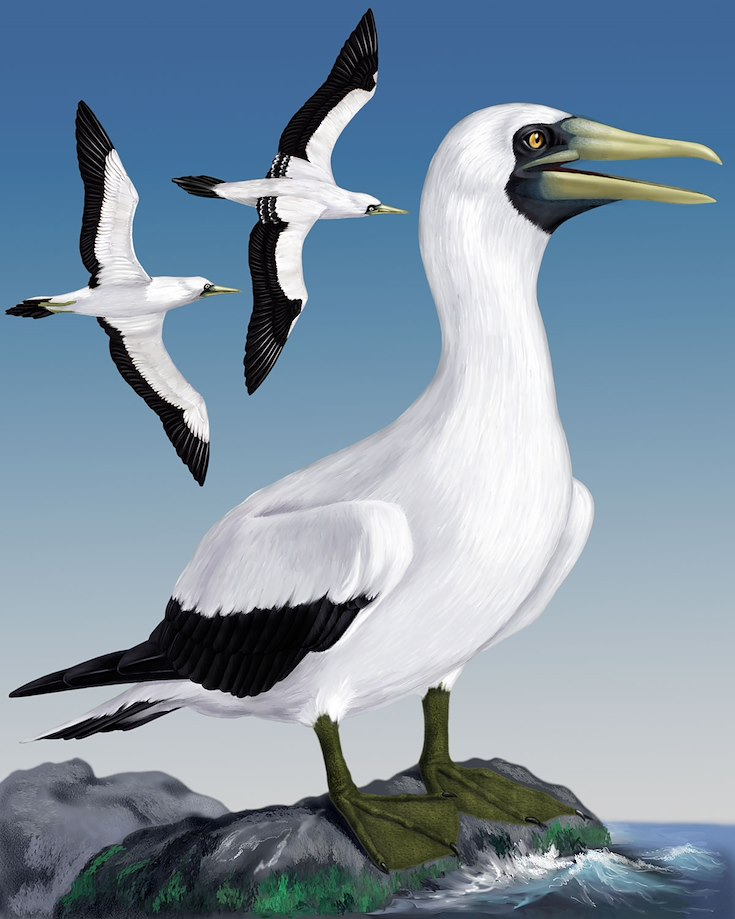Masked Booby_CEPortrait_1200