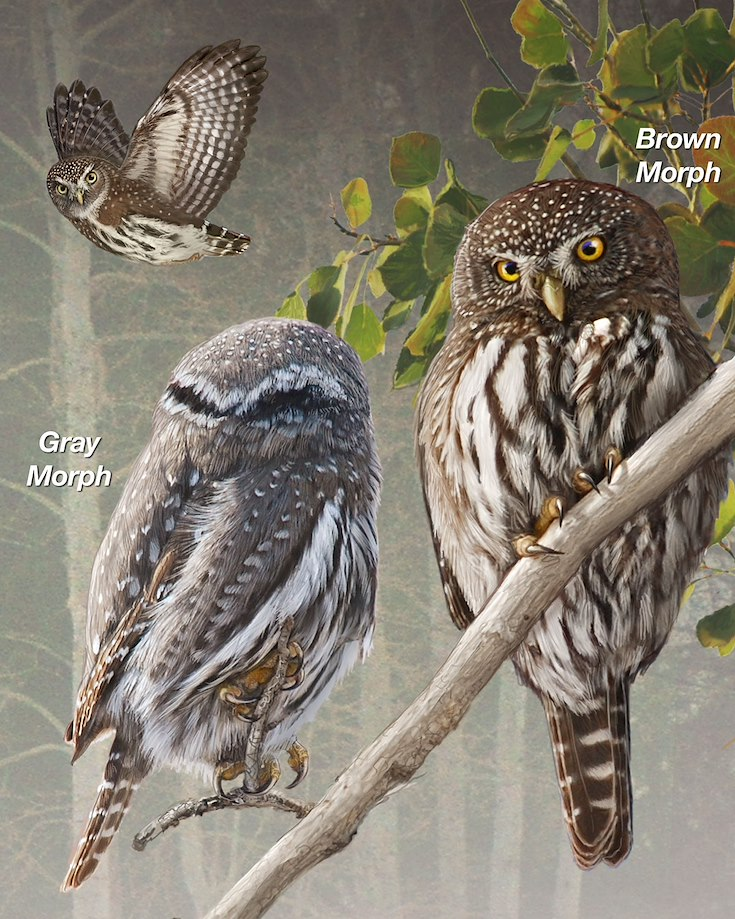 Northern Pygmy-Owl_CEPortrait_1200
