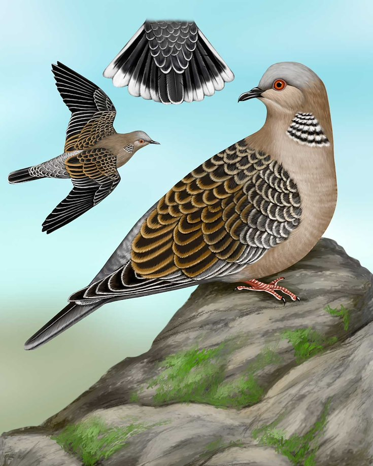 Oriental Turtle-Dove_CEPortrait_1200
