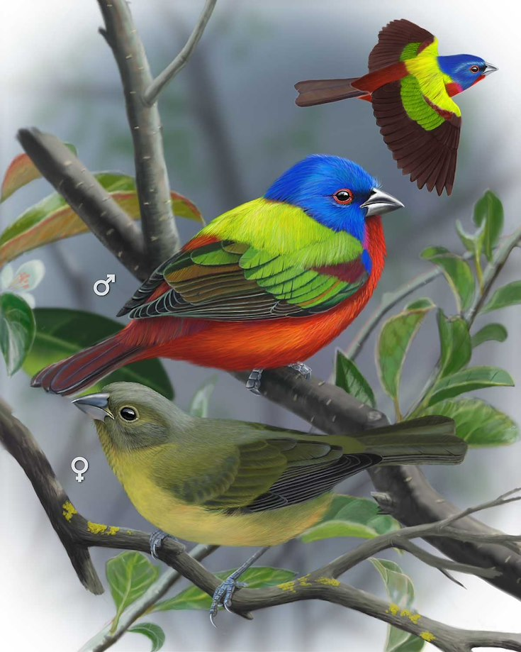 Painted Bunting_CEPortrait_1200