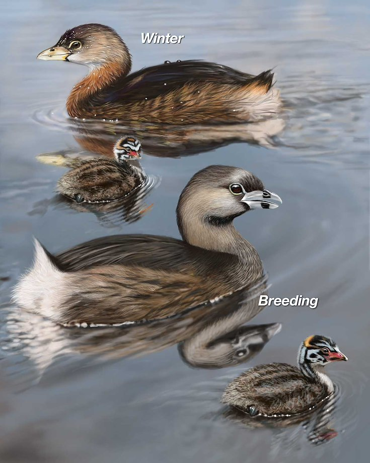 Pied-billed Grebe_CEPortrait_1200