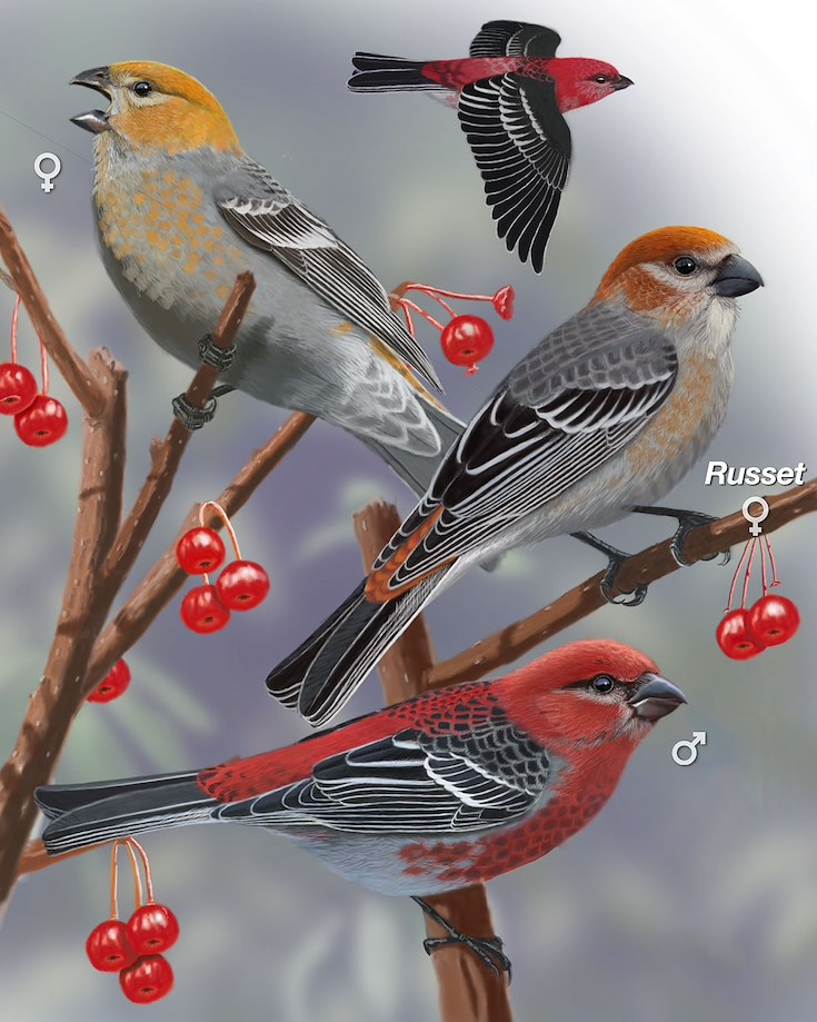 Pine Grosbeak_CEPortrait_1200