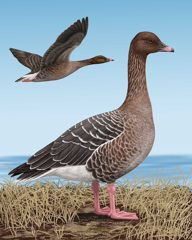 Pink-footed Goose_CEPortrait_1200