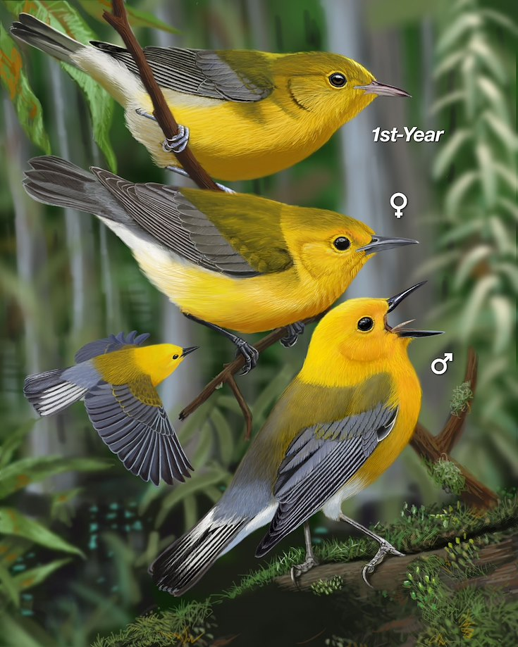 Prothonotary Warbler_CEPortrait_1200