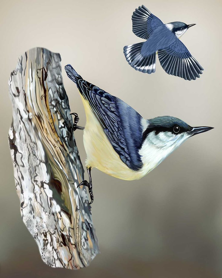 Pygmy Nuthatch_CEPortrait_1200
