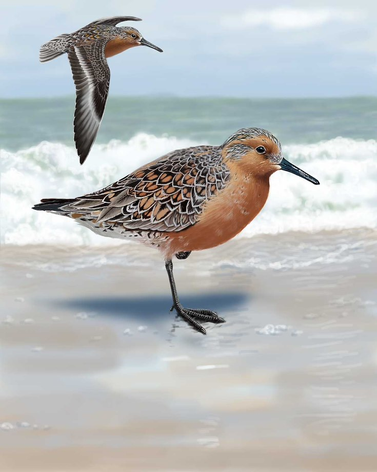 Red Knot_CEPortrait_1200