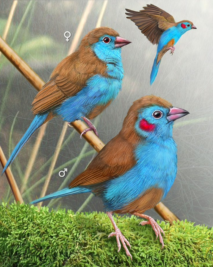 Red-cheeked Cordonbleu_CEPortrait_1200