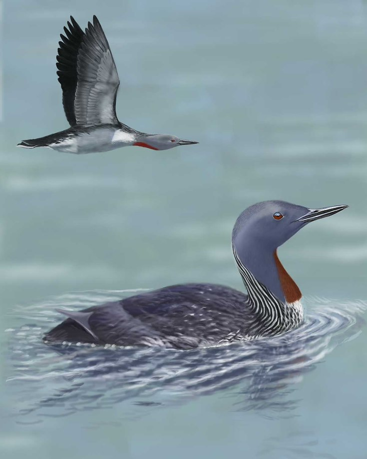 Red-throated Loon_CEPortrait_1200