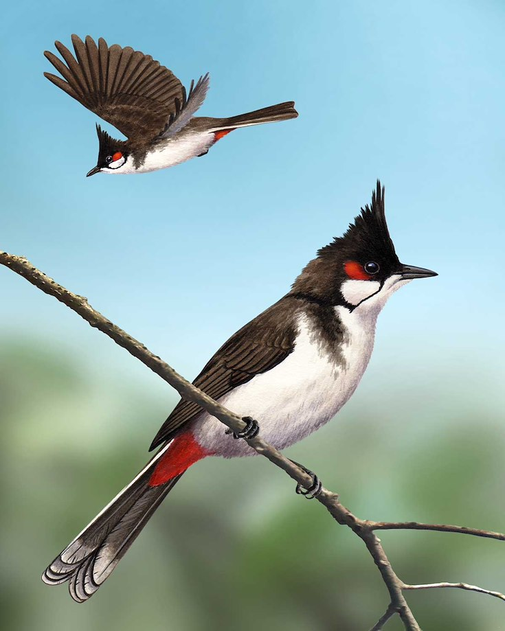 Red-whiskered Bulbul_CEPortrait_1200