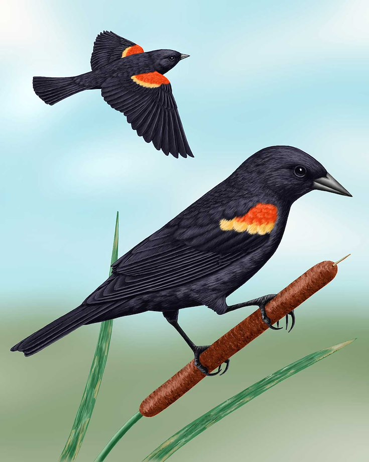 Red-winged Blackbird_CEPortrait_1200