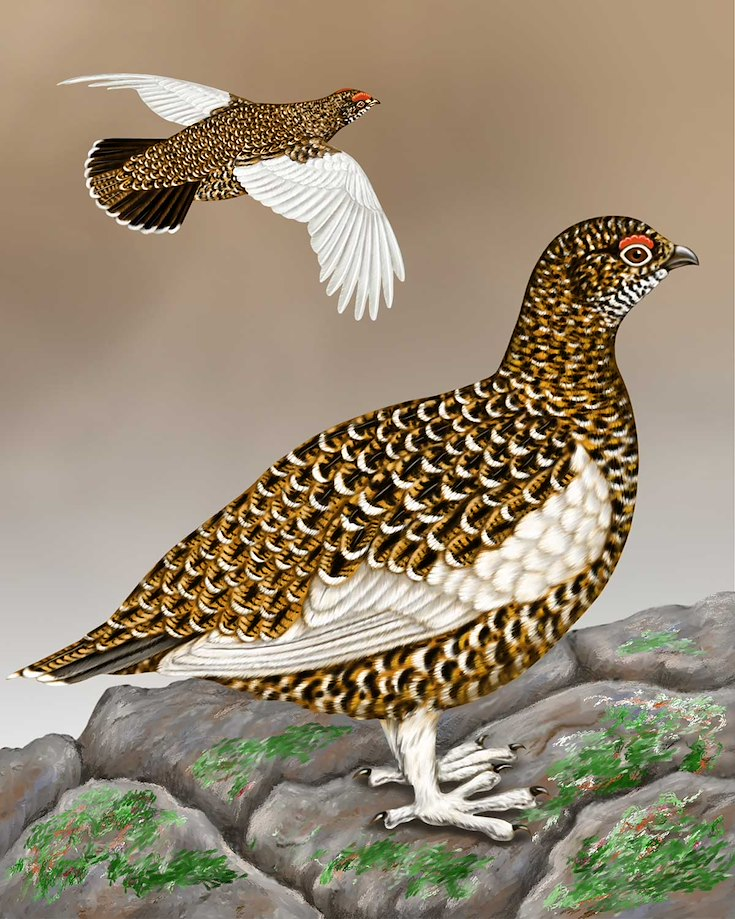 Rock Ptarmigan_CEPortrait_1200