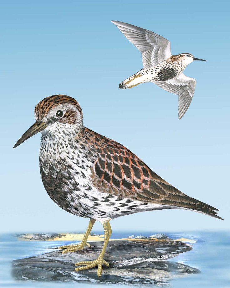 Rock Sandpiper_CEPortrait_1200