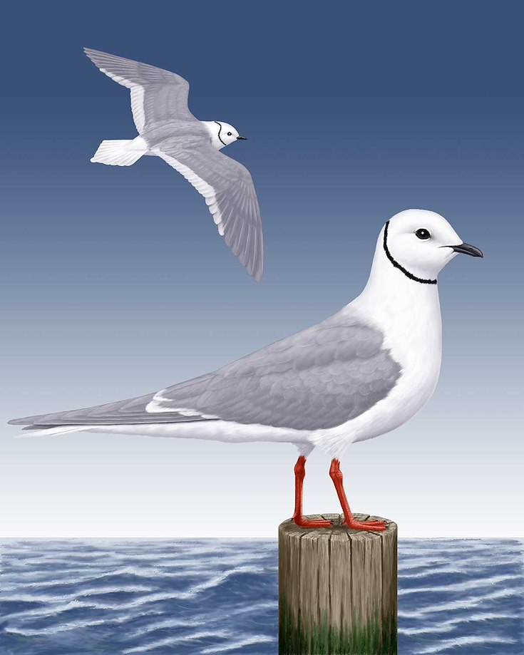 Ross's Gull_CEPortrait_1200