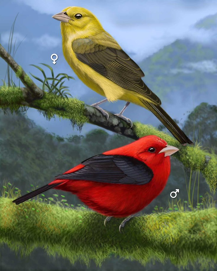 Scarlet Tanager_CEPortrait_1200