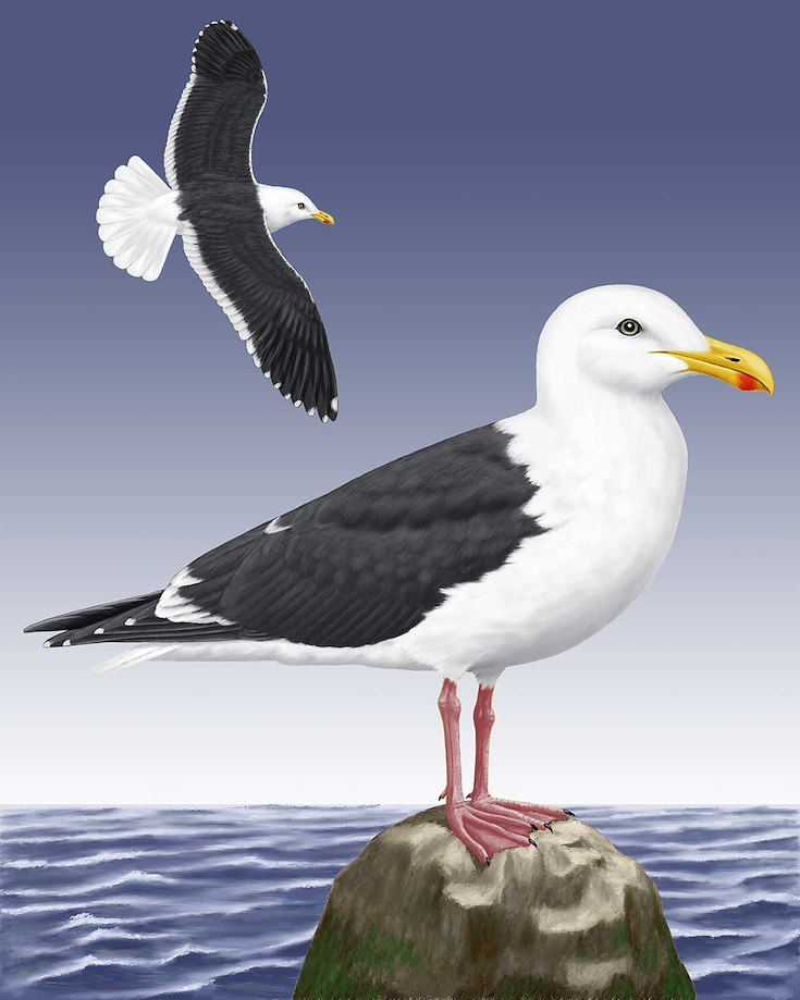 Slaty-backed Gull_CEPortrait_1200