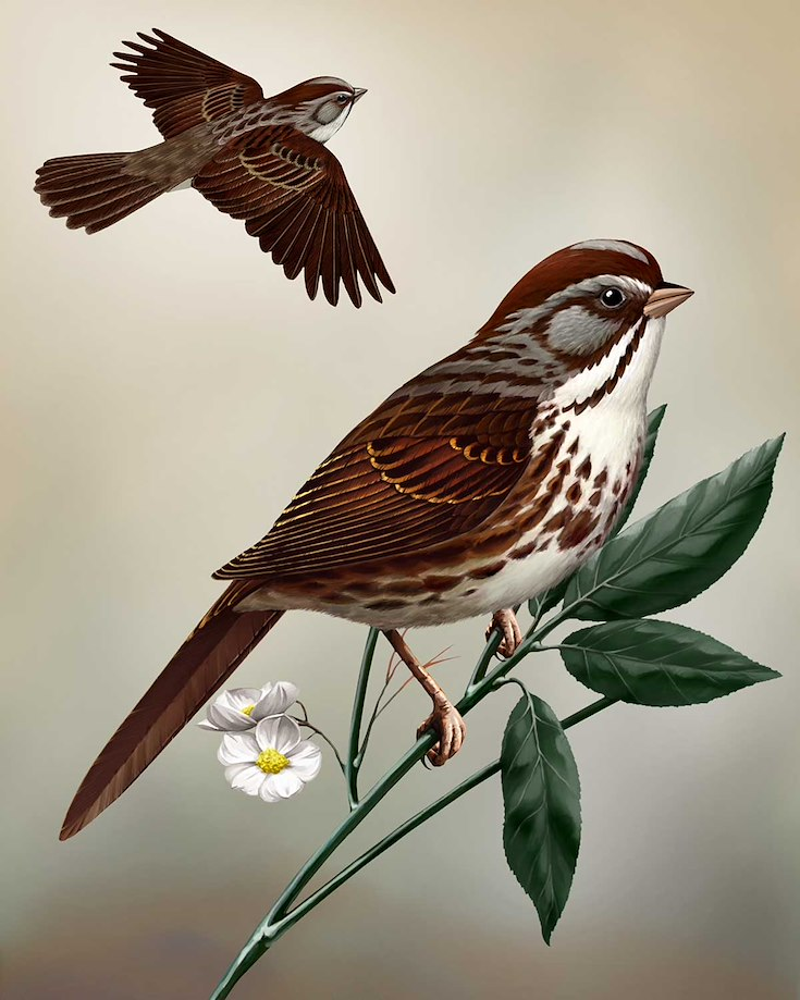 Song Sparrow_CEPortrait_1200