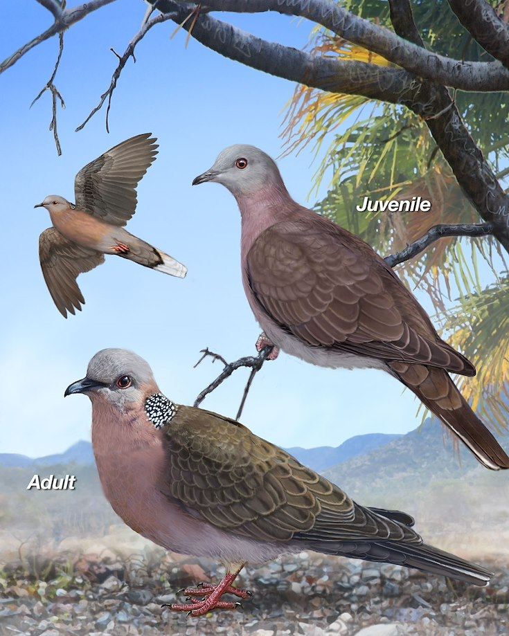 Spotted Dove_CEPortrait_1200