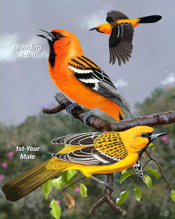 Streak-backed Oriole_CEPortrait_1200