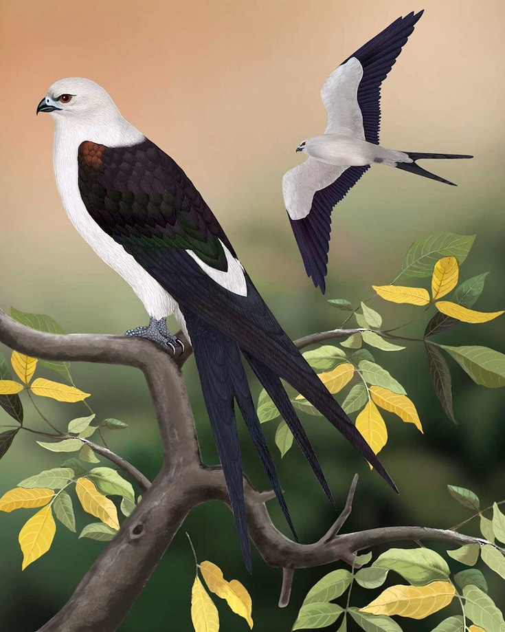 Swallow-tailed Kite_CEPortrait_1200