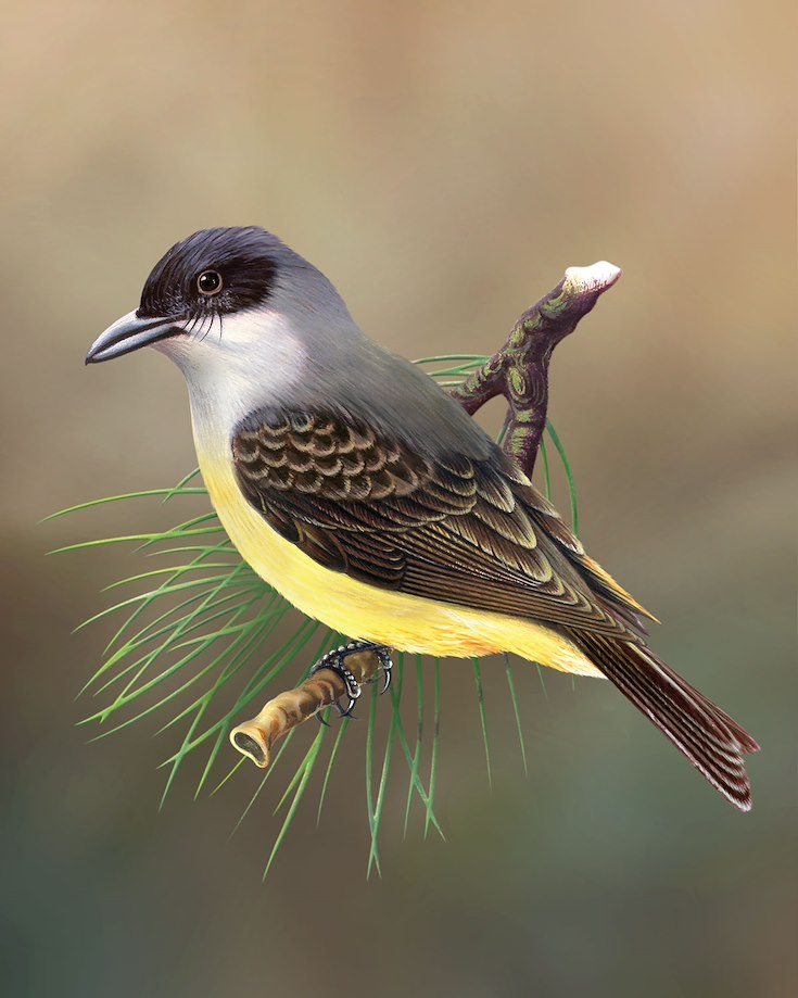 Thick-billed Kingbird_CEPortrait_1200