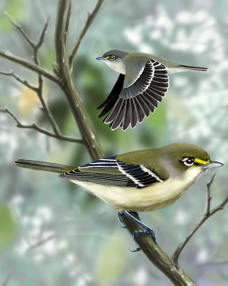 Thick-billed Vireo_CEPortrait_1200