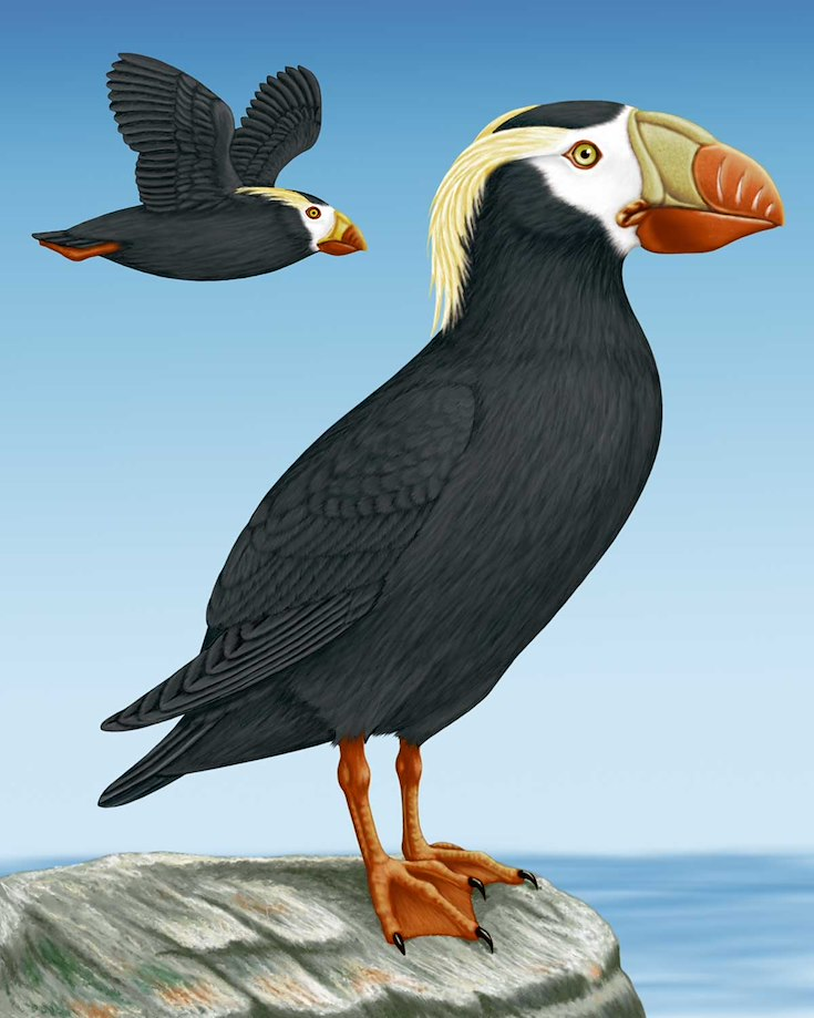 Tufted Puffin_CEPortrait_1200
