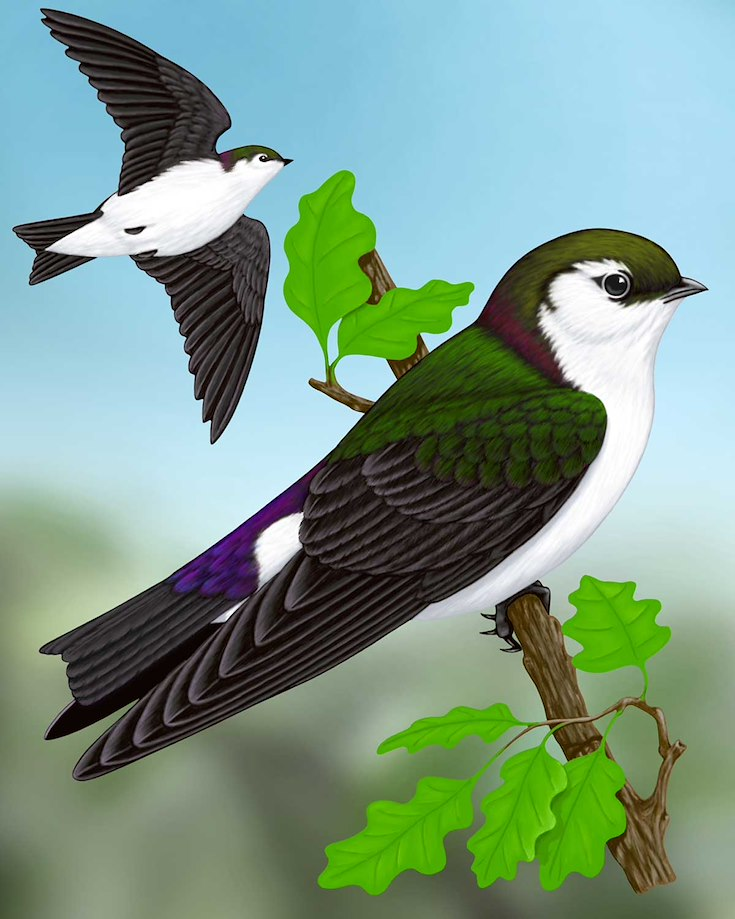 Violet-green Swallow_CEPortrait_1200