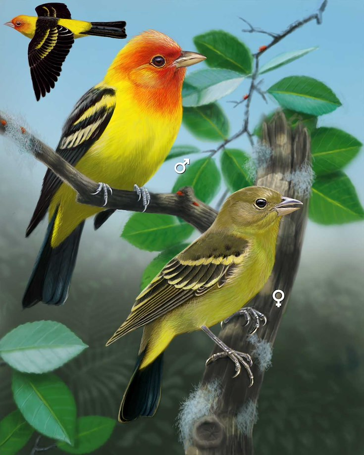 Western Tanager_CEPortrait_1200
